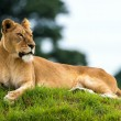 Lioness resting on grass — Stock Photo #32228175