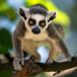 Stock Photo: Baby Ring Tailed Lemur in Tree
