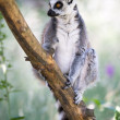 Baby Ring Tailed Lemur in Tree — Stock Photo #32228481