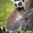 Stock Photo: Baby Ring Tailed Lemur Clasping Mother