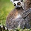 Baby Ring Tailed Lemur Clasping Mother — Stock Photo #32229591