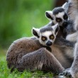 Stock Photo: Baby Ring Tailed Lemurs