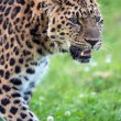Stock Photo: Male amur leopard