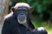 шимпанзе — Стоковое фото