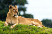 Lioness resting on a grass — Stock Photo