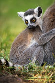 Baby Ring Tailed Lemur Clasping Mother — Stock Photo