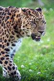 Male amur leopard — Stock Photo