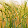 Green & Gold Barley — Stock Photo