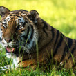 Female siberian tiger basking — Stock Photo