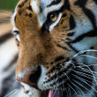 Siberian tiger licking paw — Stock Photo