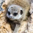 Baby meerkat in a hollow log — Foto Stock