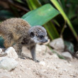 Baby meerkat running — Stock Photo