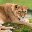 Lioness lying on grass — Stock Photo #32238757