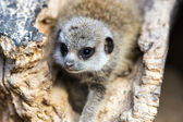 Baby meerkat in a hollow log — Stock Photo