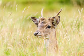 Fallow Deer Hiding — Stock Photo