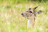 Young fallow deer hiding in long yellow grass — Stock Photo