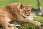 Lioness lying on grass — Stock Photo