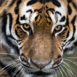 Close up of Siberian Tiger's face — Stock Photo