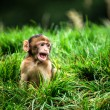 Stock Photo: Baby barbary macaque in vivid green grass