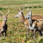 Small herd of red deer grazing — Stock Photo #32496463