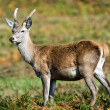 Red deer in forest — Stock Photo #32496715