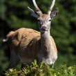 Red deer in forest — Stock Photo #32496759