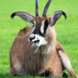 Roan antelope lying on grass — Stock Photo #33231323