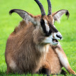 Roan antelope lying on grass — Stock Photo #33231329