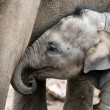 Baby Asian elephant — Stock Photo