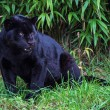 Black jaguar — Photo