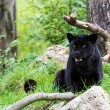 Black jaguar — Stock Photo