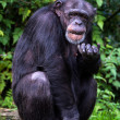 Chimpanzee — Stock Photo #33231371