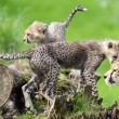 Stock Photo: Cheetah cubs