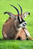 Roan antelope lying on grass — Stock Photo