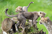 Cheetah cubs — Stock Photo