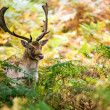 Male fallow deer deep in bracken — Stock Photo #35689653