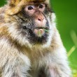 Adult male barbary macaque — Stock Photo