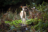 Pure white Fallow Deer deep in the forest — Stock Photo
