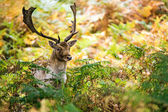 Male fallow deer deep in bracken — Stock Photo