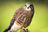 Kestrel perched on a fence post — Stock Photo