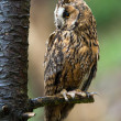Long Eared Owl perched on the branch of a tree — Zdjęcie stockowe