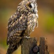 Long Eared Owl — Stock Photo #35690405