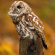 Long Eared Owl — 图库照片