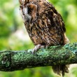 Stock Photo: Long Eared Owl against background of green foliage