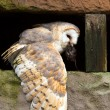Barn Owl eating prey on a pitted stone ledge — Stock Photo