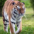 Female Amur Tiger walking toward viewer — Stock Photo #35690695