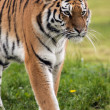 Female Amur Tiger walking toward viewer — Stock Photo #35690857