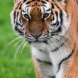 Female Amur Tiger walking toward viewer — Stock Photo