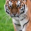Female Amur Tiger walking toward viewer — Stock Photo #35690877