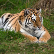 Female Amur Tiger resting in green grass — Stock Photo #35690953
